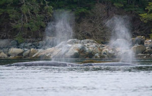 Gray whales blowing air