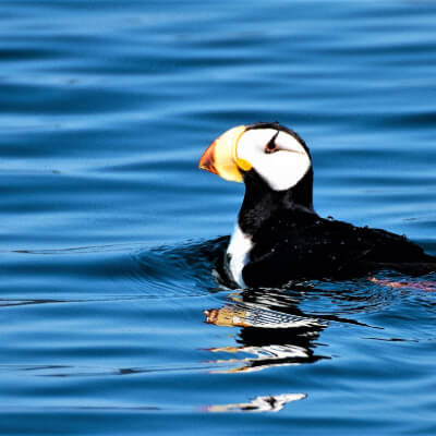 A tufted puffin swims near Sitka.