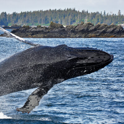 A whale jumps out the ocean.