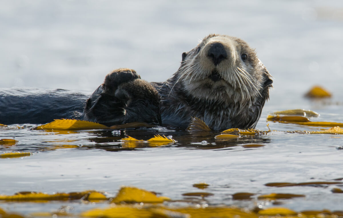 A sea otter relaxes in the water.