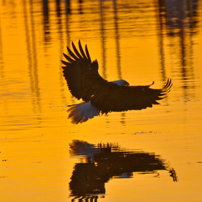 An eagle flies over water at sunset