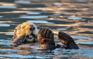 A sea otter plays in the water
