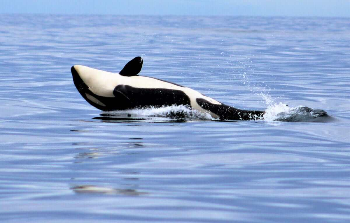 An orca plays in the sea.